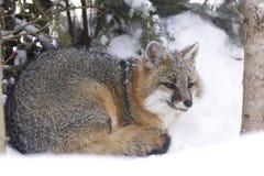 Fox grigio Fotografie Stock Libere da Diritti