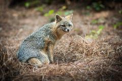 Fox grigio Fotografia Stock