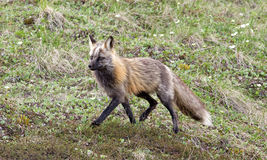 Fox grigio selvaggio Fotografie Stock