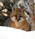 Fox gris Imágenes de archivo libres de regalías