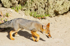 Fox gris Patagonian Images libres de droits