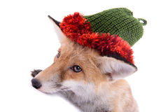 Fox with hat Royalty Free Stock Images