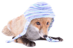Fox with hat Royalty Free Stock Photos