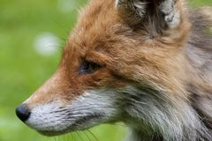 Fox head. Close up of a foxes head Royalty Free Stock Image