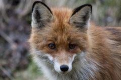 Fox head Royalty Free Stock Images