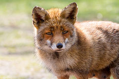 Fox head Stock Photos