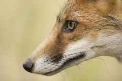 Fox head. Red fox face, close up mounth Stock Photography