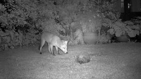 Fox and Hedgehog in urban garden at night. Fox and Hedgehog in urban garden at night feeding on house lawn stock footage