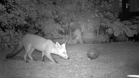 Fox and Hedgehog in urban garden at night. stock footage