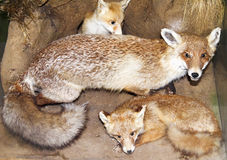 Fox and her progeny Stock Images