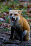 Fox-Heulen Stockbilder