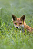 Fox hidden in the grass, a portrait stock images