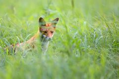 Fox hidden in the grass stock photography