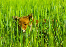 Fox hiding. A wild fox head portrait with alert expression in the face hiding in a green meadow, looking through the long grass blades and watching Royalty Free Stock Photos
