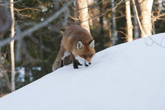Fox on the hill. European red fox in snow Royalty Free Stock Image