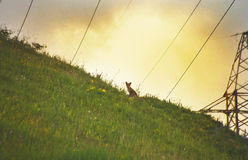 Fox on a hill at evening light Royalty Free Stock Image