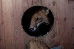 fox in the hole, animals, red fox stock photos