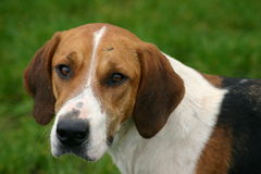 Fox Hound. Close up of a fox hound with blob of dirt on head Stock Photo