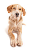 Fox-hound photos stock