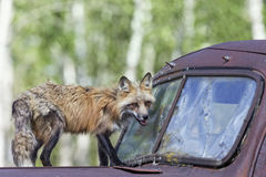 Fox and hound. Red Fox standing on old abandoned pickup truck in field Stock Images