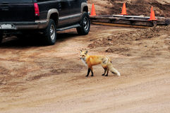 Fox in Human Populated Area Stock Images