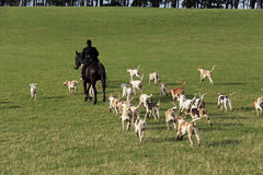 Fox Hunt. Huntsman and hound pack on the scent.  Fox Hunting remains a contentious issue in the UK Royalty Free Stock Image