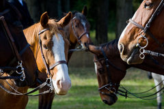 Fox Hunt Horses. Closeup of a gathering of horses for use in a fox hunt Royalty Free Stock Photo