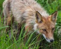 Fox Hunt. A red fox stalks it's prey, on Round Island in Alaska Stock Image