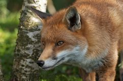 Fox Hunting. A fox in the morning looking to go hunting Royalty Free Stock Photos