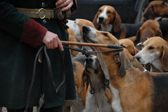 Fox hunting. Dogs waiting for a fox hunting with their owner Stock Photos
