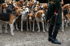 Fox hunting. Dogs waiting for a fox hunting with a riding man royalty free stock photography