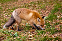 Fox hunting. At autumn grass stock photography