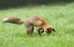 Fox hunting. Beautiful young fox in natural habitat royalty free stock images