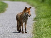 A Fox Hunting. A fox carrying some Field Voles that it has captured. It is still hunting beside one of the paths on the RSPB reserve at Saltholme, Teesside stock image