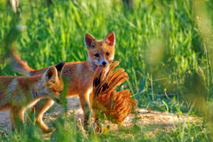 Fox hunting in the clearing. Fox hunting in the wild, in a clearing stock image