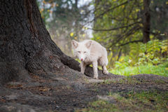 Fox hunting in the forest. autumn. color white stock photos