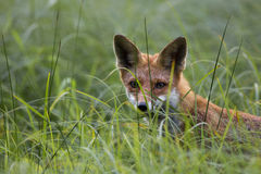 Fox hunting in the grass Royalty Free Stock Images