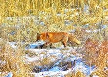 Fox. Hunting fox in a grass, red pelt, in winter area, polish landscape stock photo