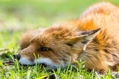 Fox im Gras lizenzfreies stockbild
