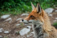 Fox im Landschaft Vulpes Vulpes, hohes Tatras, Slowakei stockfotos
