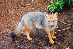 Fox im Patagonia Stockfotos