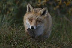 Fox im Wald in den Niederlanden Stockfotografie