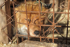 Free Fox In A Cage Royalty Free Stock Photos - 30094928