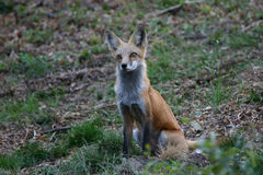 Fox inquisitivo Fotografía de archivo libre de regalías