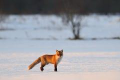 Fox in inverno Immagini Stock