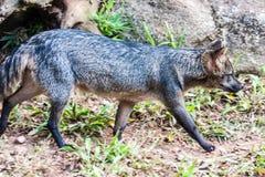 Fox itatiba Zoo Brazil Royalty Free Stock Photos