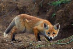 Fox-Jagden auf einem Schmetterling stockfoto