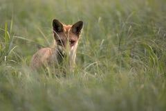 Fox-Jagden auf einer Maus. lizenzfreies stockfoto