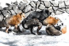 Fox joignant dans la saison d'hiver Image libre de droits