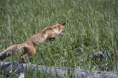 Fox jumping. Koni peninsula in the Sea of Okhotsk Stock Photo
